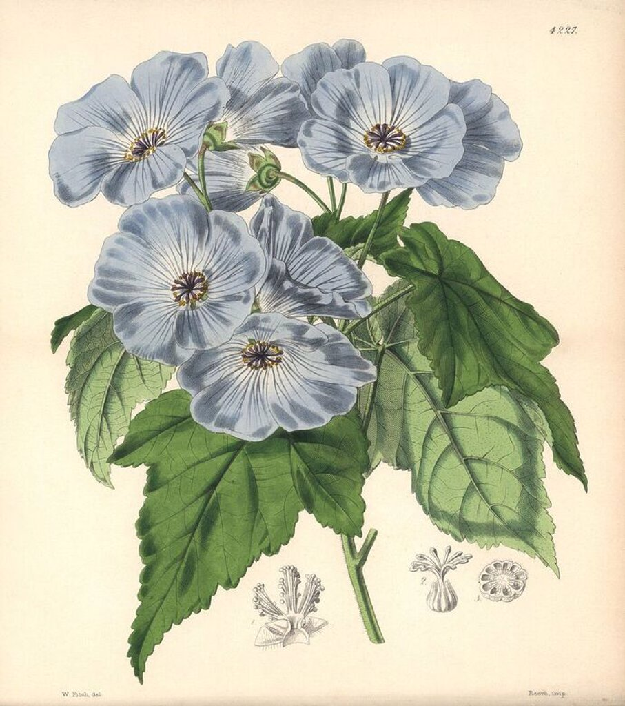 "Vine-leaved sida, Sida (abutilon) vitifolia. Hand-coloured botanical illustration drawn and lithographed by Walter Hood Fitch for Sir William Jackson Hooker's ""Curtis's Botanical Magazine,"" London, Reeve Brothers, 1846. Fitch (1817~1892) was a tireless Scottish artist who drew over 2,700 lithographs for the ""Botanical Magazine"" starting from 1834. : Stock Photo"