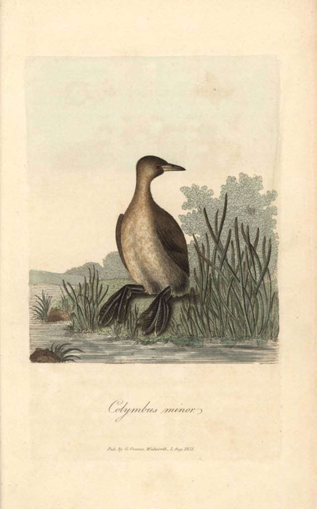"Stock Photo: 4409-66769 Little grebe, Colymbus minor, Podiceps minor, Tachybaptus ruficollis. Handcoloured copperplate engraving by George Graves from ""British Ornithology"" 1811. Graves was a bookseller, publisher, artist, engraver and colorist and worked on botanical and ornithological books."