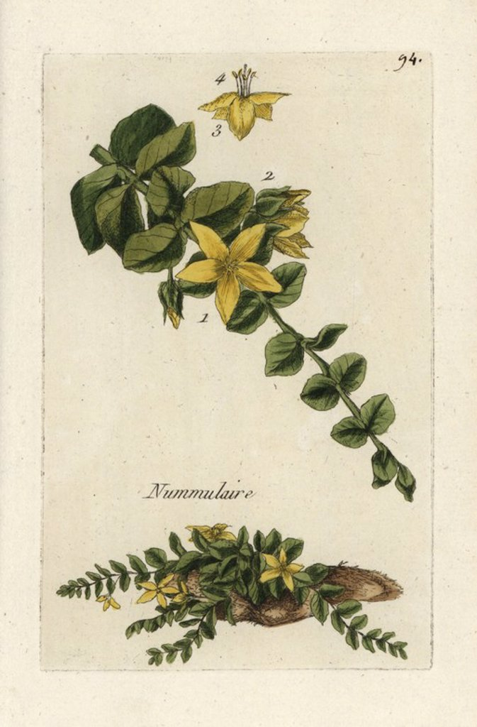 "Stock Photo: 4409-66789 Moneywort, Lysimachia nummularia. Handcoloured botanical drawn and engraved by Pierre Bulliard from his own ""Flora Parisiensis,"" 1776, Paris, P.F. Didot. Pierre Bulliard (1752-1793) was a famous French botanist who pioneered the three-colour-plate printing technique. His introduction to the flowers of Paris included 640 plants."