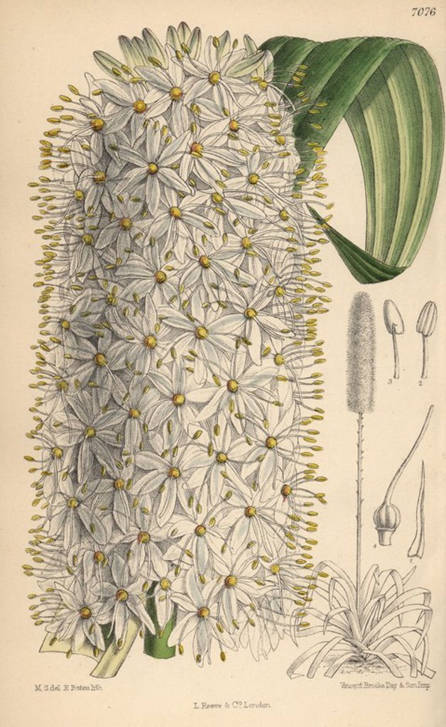 "Stock Photo: 4409-66801 Eremurus himalaicus, white foxtail lily from the Himalayas. Hand-coloured botanical illustration drawn by Matilda Smith and lithographed by E. Bates from Joseph Dalton Hooker's ""Curtis's Botanical Magazine,"" 1889, L. Reeve & Co. A second-cousin and pupil of Sir Joseph Dalton Hooker, Matilda Smith (1854-1926) was the main artist for the Botanical Magazine from 1887 until 1920 and contributed 2,300 illustrations."