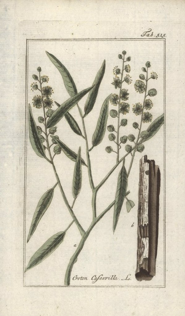 "Stock Photo: 4409-66840 Cascarilla, Croton eluteria. Handcoloured copperplate botanical engraving from Johannes Zorn's ""Afbeelding der Artseny-Gewassen,"" Jan Christiaan Sepp, Amsterdam, 1796. Zorn first published his illustrated medical botany in Nurnberg in 1780 with 500 plates, and a Dutch edition followed in 1796 published by J.C. Sepp with an additional 100 plates. Zorn (1739-1799) was a German pharmacist and botanist who collected medical plants from all over Europe for his ""Icones plantarum medicinalium"" for apot"