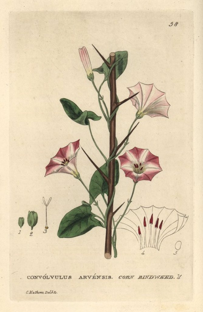 "Stock Photo: 4409-66848 Corn bindweed, Convolvulus arvensis. Handcoloured copperplate engraving from a drawing by C. Mathews from William Baxter's ""British Phaenogamous Botany"" 1834. Scotsman William Baxter (1788-1871) was the curator of the Oxford Botanic Garden from 1813 to 1854."