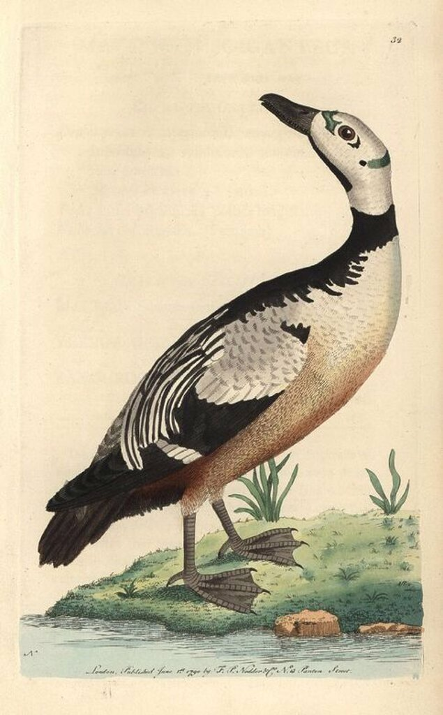 "Western, variegated duck or Steller's Eider duck. Polysticta stelleri (Anas stelleri). Small duck with green markings on the head, black upperparts and neck collar, white head and brownish belly. ""The elegant specimen in the Leverian Museum was the individual from which this figure was taken."". Illustration signed N (Frederick Nodder).. Handcolored copperplate engraving from George Shaw and Frederick Nodder's ""The Naturalist's Miscellany"" 1790.. Frederick Polydore Nodder (1751~1801?) was a gifte : Stock Photo"
