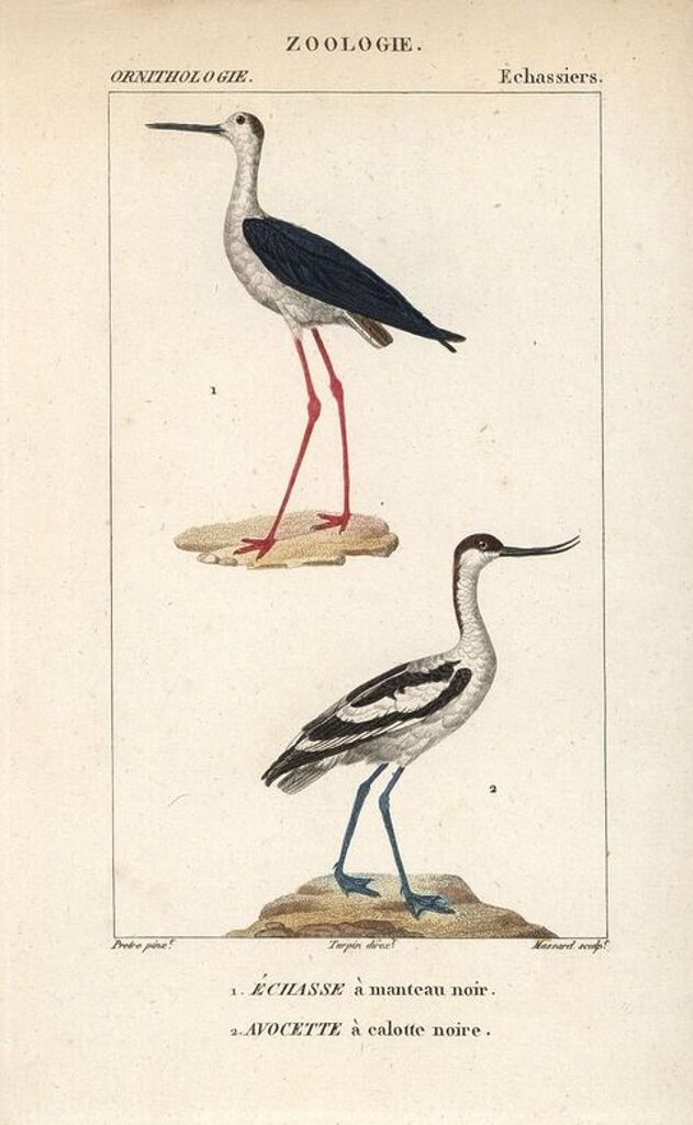 "Stock Photo: 4409-66965 Black-winged stilt, Himantopus himantopus, and pied avocet, Recurvirostra avosetta. Handcoloured copperplate stipple engraving from Dumont de Sainte-Croix's ""Dictionary of Natural Science: Ornithology,"" Paris, France, 1816-1830. Illustration by J. G. Pretre, engraved by Massard, directed by Pierre Jean-Francois Turpin, and published by F.G. Levrault. Jean Gabriel Pretre (1780~1845) was painter of natural history at Empress Josephine's zoo and later became artist to the Museum of Natural History."