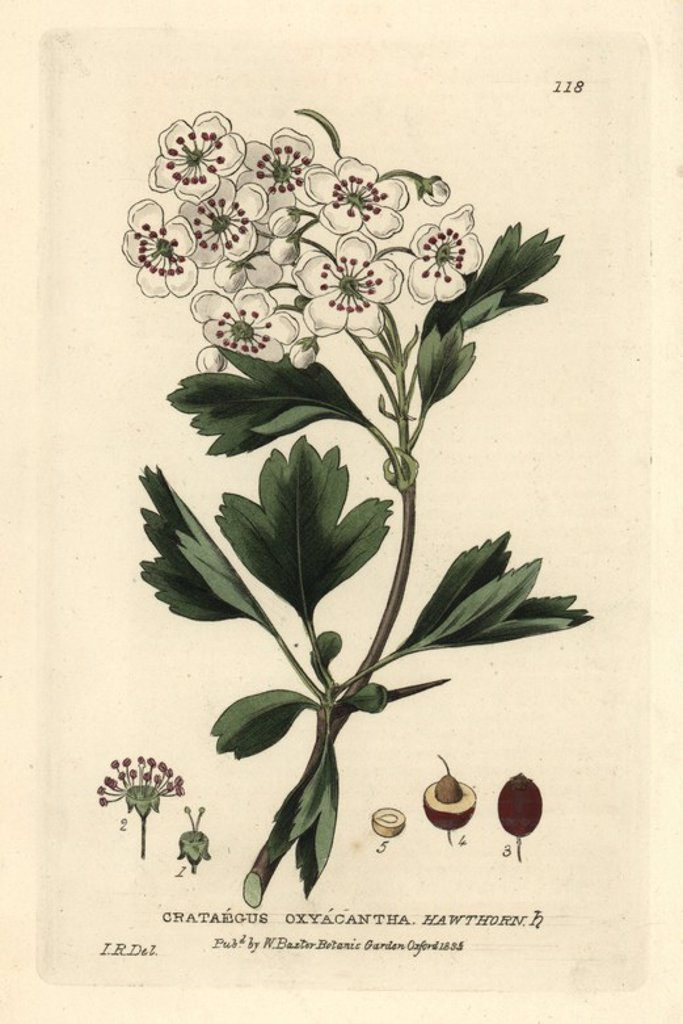 "Stock Photo: 4409-67026 Hawthorn, Crataegus oxyacantha. Handcoloured copperplate engraving of a drawing by Isaac Russell from William Baxter's ""British Phaenogamous Botany"" 1834. Scotsman William Baxter (1788-1871) was the curator of the Oxford Botanic Garden from 1813 to 1854."