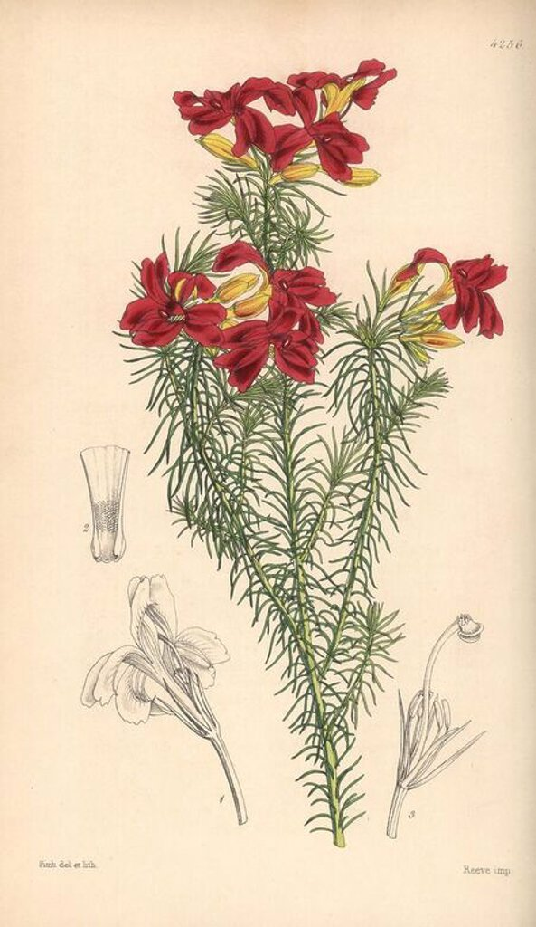 "Stock Photo: 4409-67053 Splendid scarlet-flowered leschenaultia, Leschenaultia splendens. Hand-coloured botanical illustration drawn and lithographed by Walter Hood Fitch for Sir William Jackson Hooker's ""Curtis's Botanical Magazine,"" London, Reeve Brothers, 1846. Fitch (1817~1892) was a tireless Scottish artist who drew over 2,700 lithographs for the ""Botanical Magazine"" starting from 1834."
