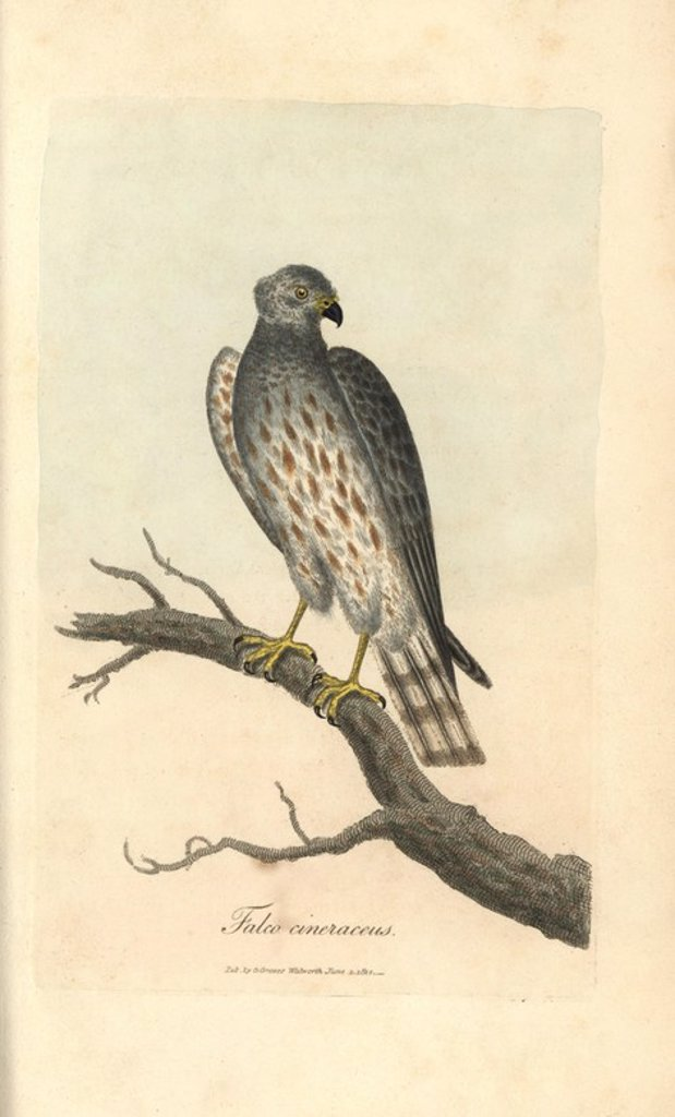"Stock Photo: 4409-67234 Ash coloured falcon, Falco cineraceus, Montague's harrier, Circus cineraceus. Handcoloured copperplate engraving by George Graves from ""British Ornithology"" 1811. Graves was a bookseller, publisher, artist, engraver and colorist and worked on botanical and ornithological books."