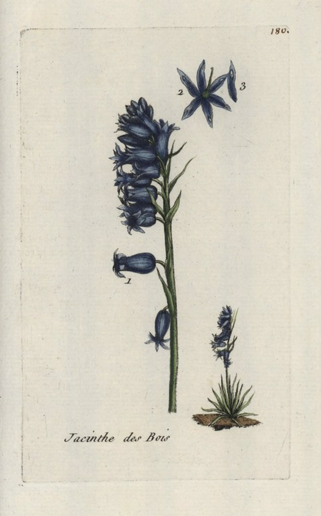 """Tassel hyacinth, Muscari comosum. Handcoloured botanical drawn and engraved by Pierre Bulliard from his own """"Flora Parisiensis,"""" 1776, Paris, P. F. Didot. Pierre Bulliard (1752-1793) was a famous French botanist who pioneered the three-colour-plate printing technique. His introduction to the flowers of Paris included 640 plants. : Stock Photo"""