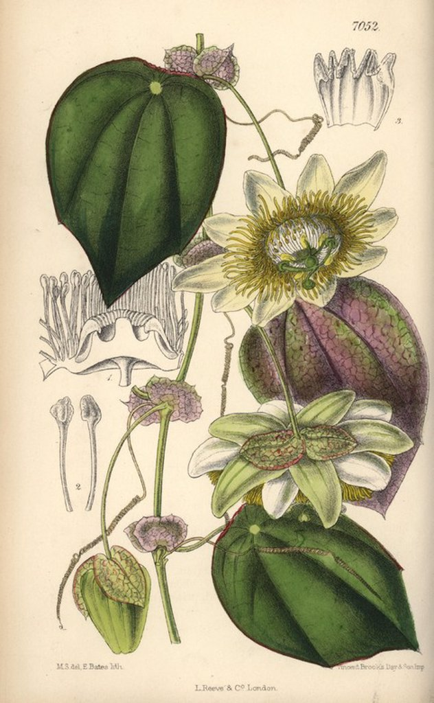 "Stock Photo: 4409-67312 Passiflora hahnii, yellow passionflower native to Mexico. Hand-coloured botanical illustration drawn by Matilda Smith and lithographed by E. Bates from Joseph Dalton Hooker's ""Curtis's Botanical Magazine,"" 1889, L. Reeve & Co. A second-cousin and pupil of Sir Joseph Dalton Hooker, Matilda Smith (1854-1926) was the main artist for the Botanical Magazine from 1887 until 1920 and contributed 2,300 illustrations."