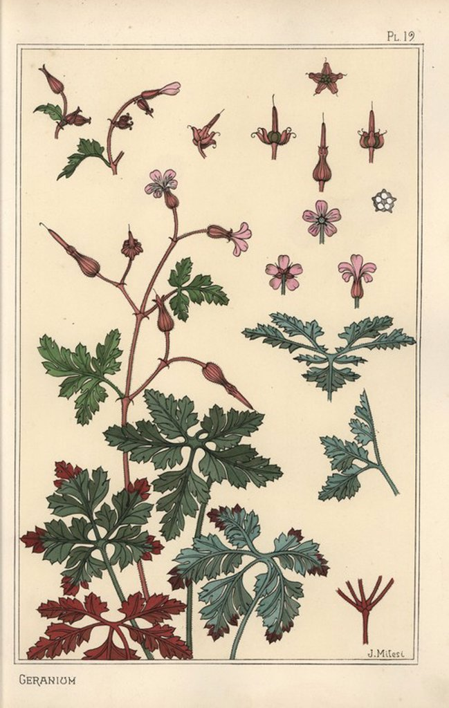 "Stock Photo: 4409-67329 Botanical illustration of a geranium flower, petals, leaves. Lithograph by J. Milesi with pochoir (stencil) handcoloring from Eugene Grasset's ""Plants and their Application to Ornament,"" Paris, 1897. Grasset (1841-1917) was a Swiss artist whose innovative designs inspired the ""art nouveau"" movement at the end of the 19th century."