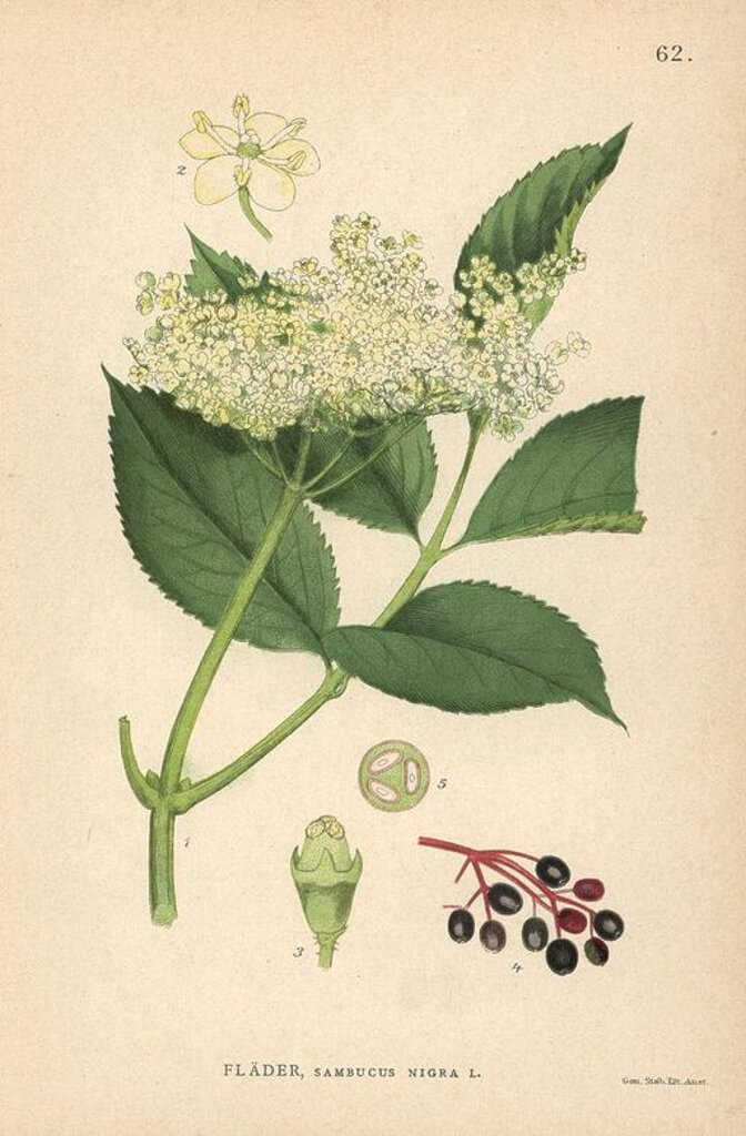 "Stock Photo: 4409-67434 Black elder, Sambucus nigra. Chromolithograph from Carl Lindman's ""Bilder ur Nordens Flora"" (Pictures of Northern Flora), Stockholm, Wahlström & Widstrand, 1905. Lindman (1856-1928) was Professor of Botany at the Swedish Museum of Natural History (Naturhistoriska Riksmuseet). The chromolithographs were based on Johan Wilhelm Palmstruch's ""Svensk botanik"" (1802-1843)."