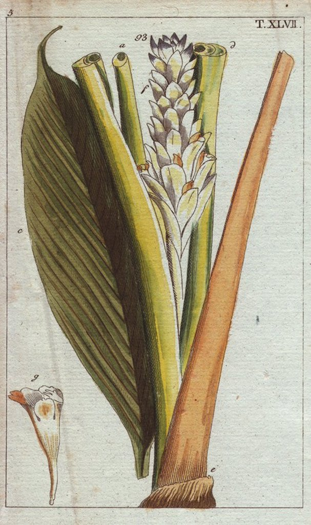 "Stock Photo: 4409-67470 Round turmeric, Curcuma rotunda. Handcolored copperplate engraving of a botanical illustration from G. T. Wilhelm's ""Unterhaltungen aus der Naturgeschichte"" (Encyclopedia of Natural History), Vienna, 1816. Gottlieb Tobias Wilhelm (1758-1811) was a Bavarian clergyman and naturalist in Augsburg, where the first edition was published."