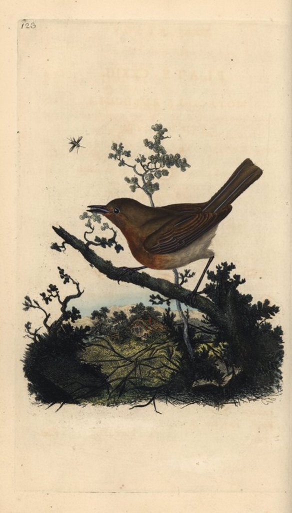 "Stock Photo: 4409-67495 Robin redbreast, Erithacus rubecula. Handcoloured copperplate drawn and engraved by Edward Donovan from his own ""Natural History of British Birds,"" London, 1794-1819. Edward Donovan (1768-1837) was an Anglo-Irish amateur zoologist, writer, artist and engraver. He wrote and illustrated a series of volumes on birds, fish, shells and insects, opened his own museum of natural history in London, but later he fell on hard times and died penniless."