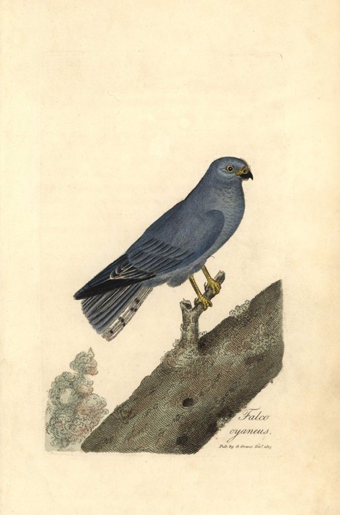 "Stock Photo: 4409-67554 Northern harrier or blue hawk, Circus cyaneus. Handcoloured copperplate drawn and engraved by George Graves from his own ""British Ornithology,"" Walworth, 1815. Graves was a bookseller, publisher, artist, engraver and colorist and worked on botanical and ornithological books."