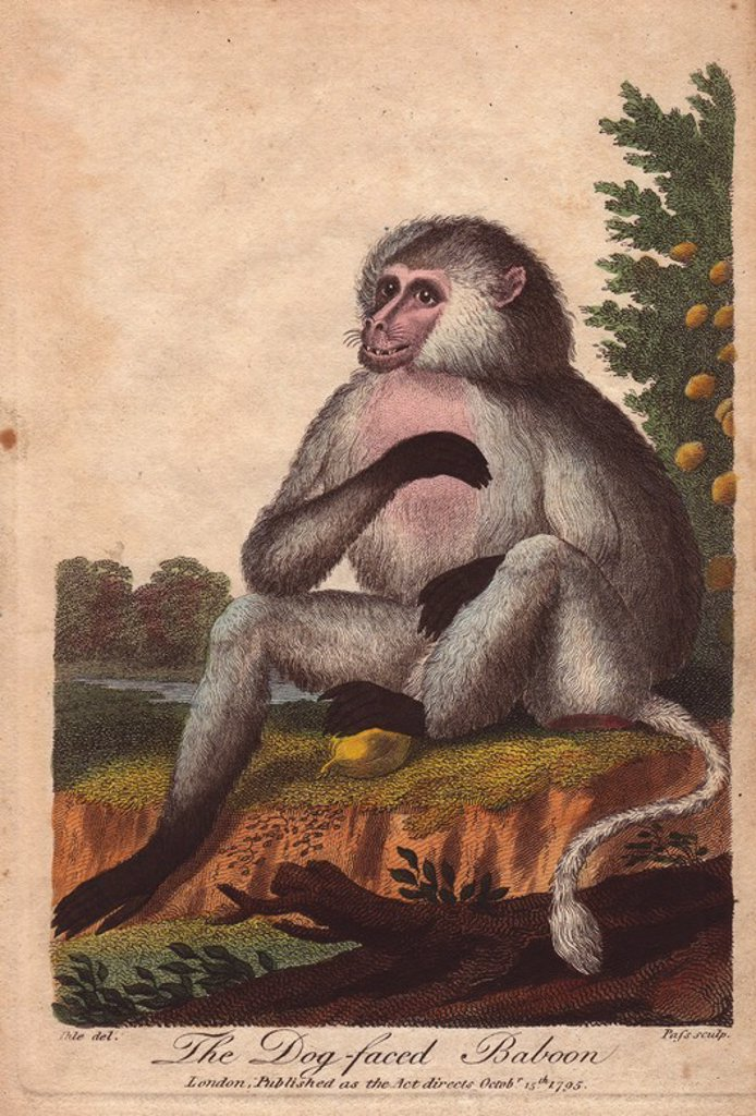 "Stock Photo: 4409-67555 Dog-faced baboon. . Papio hamadryas, Papio doguera, Cynocephalus. . Hand-colored copperplate engraving from a drawing by Johann Ihle from Ebenezer Sibly's ""Universal System of Natural History"" 1794. . . The prolific Sibly published his Universal System of Natural History in 1794~1796 in five volumes covering the three natural worlds of fauna, flora and geology. The series included illustrations of mythical beasts such as the sukotyro and the mermaid, and depicted sloths sitting on the ground (in"