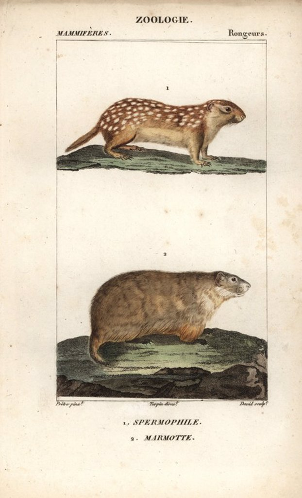 "Stock Photo: 4409-67587 European ground squirrel, Spermophilus citellus, and Alpine Marmot, Marmota marmota. Handcoloured copperplate stipple engraving from Frederic Cuvier's ""Dictionary of Natural Science: Mammals,"" Paris, France, 1816. Illustration by J. G. Pretre, engraved by David, directed by Pierre Jean-Francois Turpin, and published by F.G. Levrault. Jean Gabriel Pretre (1780~1845) was painter of natural history at Empress Josephine's zoo and later became artist to the Museum of Natural History. Turpin (1775-184"