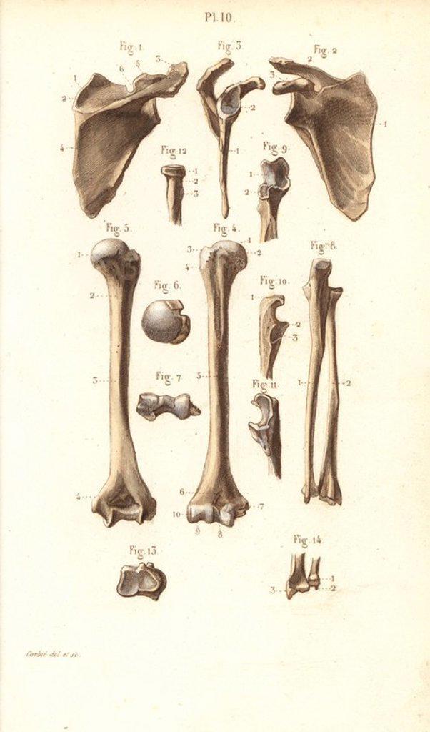 Shoulder blade and arm bones: scapula, humerus, cubitus, radius and ...