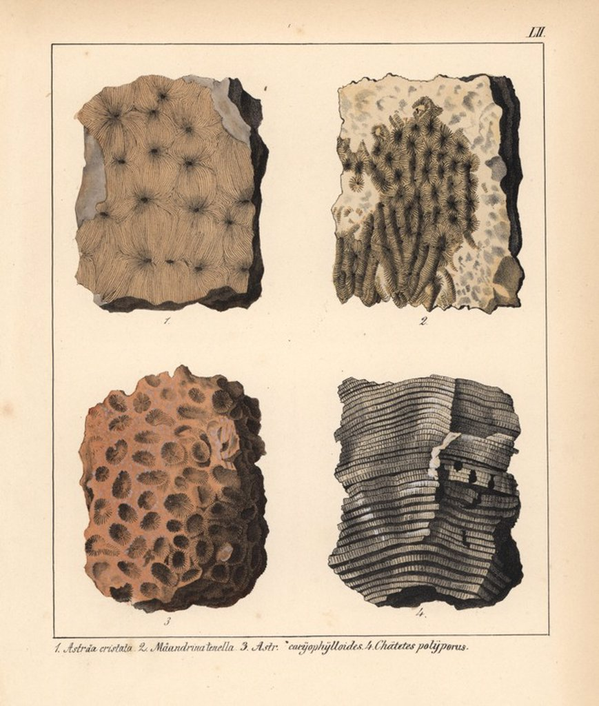 "Fossil of extinct corals: Astraea cristata, Maeandrina tenella, A. caryophylloides and Chaetetes polyporus. Handcoloured lithograph by an unknown artist from Dr. F.A. Schmidt's ""Petrefactenbuch,"" published in Stuttgart, Germany, 1855 by Verlag von Krais & Hoffmann. Dr. Schmidt's ""Book of Petrification"" introduced fossils and palaeontology to both the specialist and general reader. : Stock Photo"