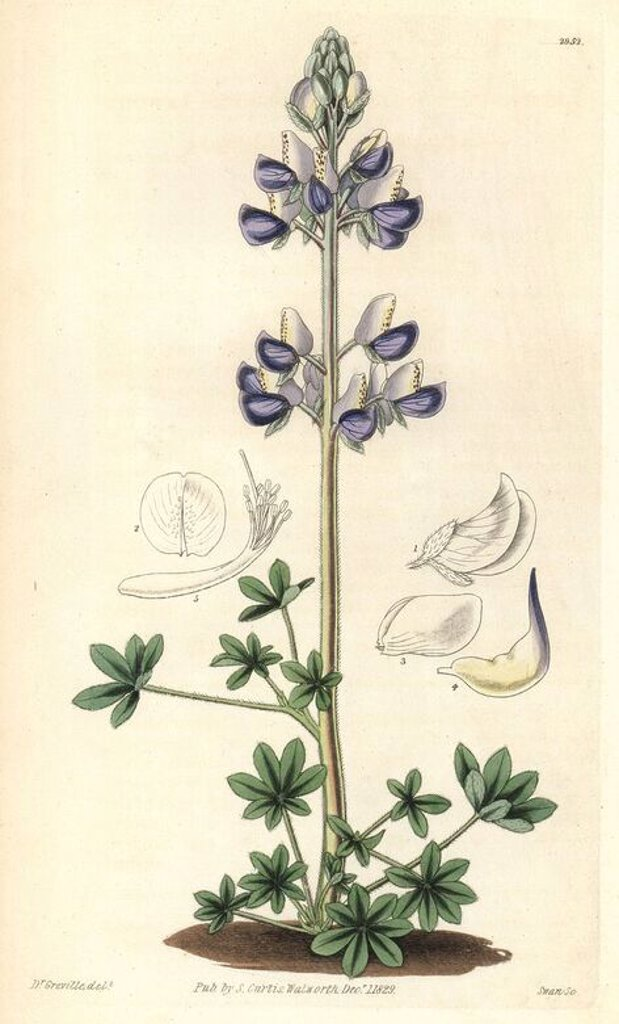 "Stock Photo: 4409-67884 Sea-shore lupin, Lupinus littoralis. Illustration by Dr. Greville, engraved by Swan. Handcolored copperplate engraving from William Curtis's ""The Botanical Magazine,"" Samuel Curtis, 1829. Hooker (1785-1865) was an English botanist, writer and artist. He was Regius Professor of Botany at Glasgow University, and editor of Curtis' ""Botanical Magazine"" from 1827 to 1865. In 1841, he was appointed director of the Royal Botanic Gardens at Kew, and was succeeded by his son Joseph Dalton. Hooker documen"