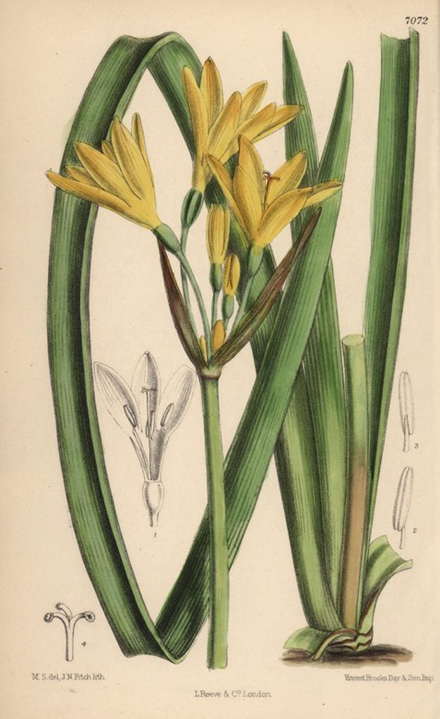 "Stock Photo: 4409-67918 Anoiganthus breviflorus, yellow lily native to the Cape and Natal, South Africa. Hand-coloured botanical illustration drawn by Matilda Smith and lithographed by J.N. Fitch from Joseph Dalton Hooker's ""Curtis's Botanical Magazine,"" 1889, L. Reeve & Co. A second-cousin and pupil of Sir Joseph Dalton Hooker, Matilda Smith (1854-1926) was the main artist for the Botanical Magazine from 1887 until 1920 and contributed 2,300 illustrations."