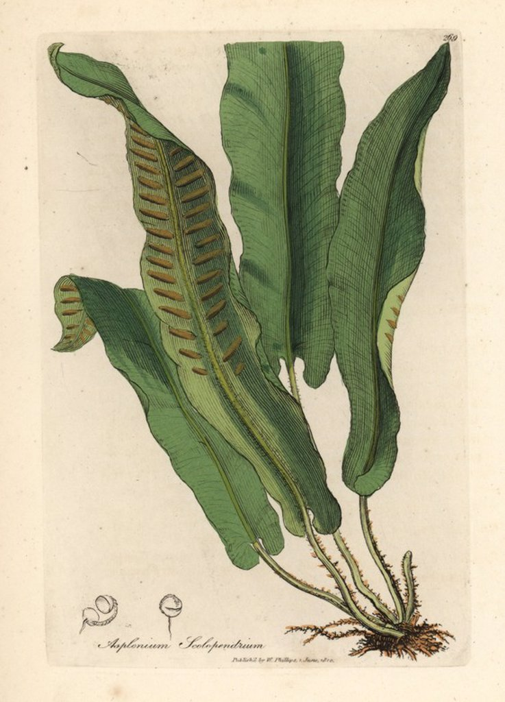 """Stock Photo: 4409-67985 Harts-tongue fern, Asplenium scolopendrium. Handcolored copperplate engraving from a botanical illustration by James Sowerby from William Woodville and Sir William Jackson Hooker's """"Medical Botany"""" 1832. The tireless Sowerby (1757-1822) drew over 2,500 plants for Smith's mammoth """"English Botany"""" (1790-1814) and 440 mushrooms for """"Coloured Figures of English Fungi """" (1797) among many other works."""