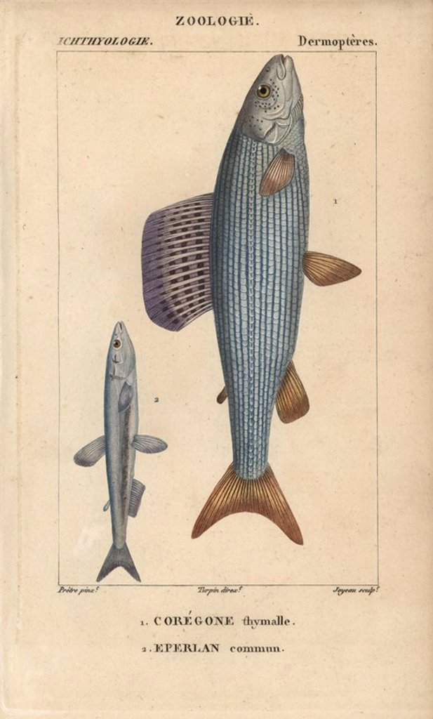 "Stock Photo: 4409-68034 Grayling, coregone thymalle, Thymallus thymallus, and European smelt, eperlan commun, Osmerus eperlanus. Handcoloured copperplate stipple engraving from Jussieu's ""Dictionnaire des Sciences Naturelles"" 1816-1830. The volumes on fish and reptiles were edited by Hippolyte Cloquet, natural historian and doctor of medicine. Illustration by J.G. Pretre, engraved by Joyeau, directed by Turpin, and published by F. G. Levrault. Jean Gabriel Pretre (1780~1845) was painter of natural history at Empress Jo"