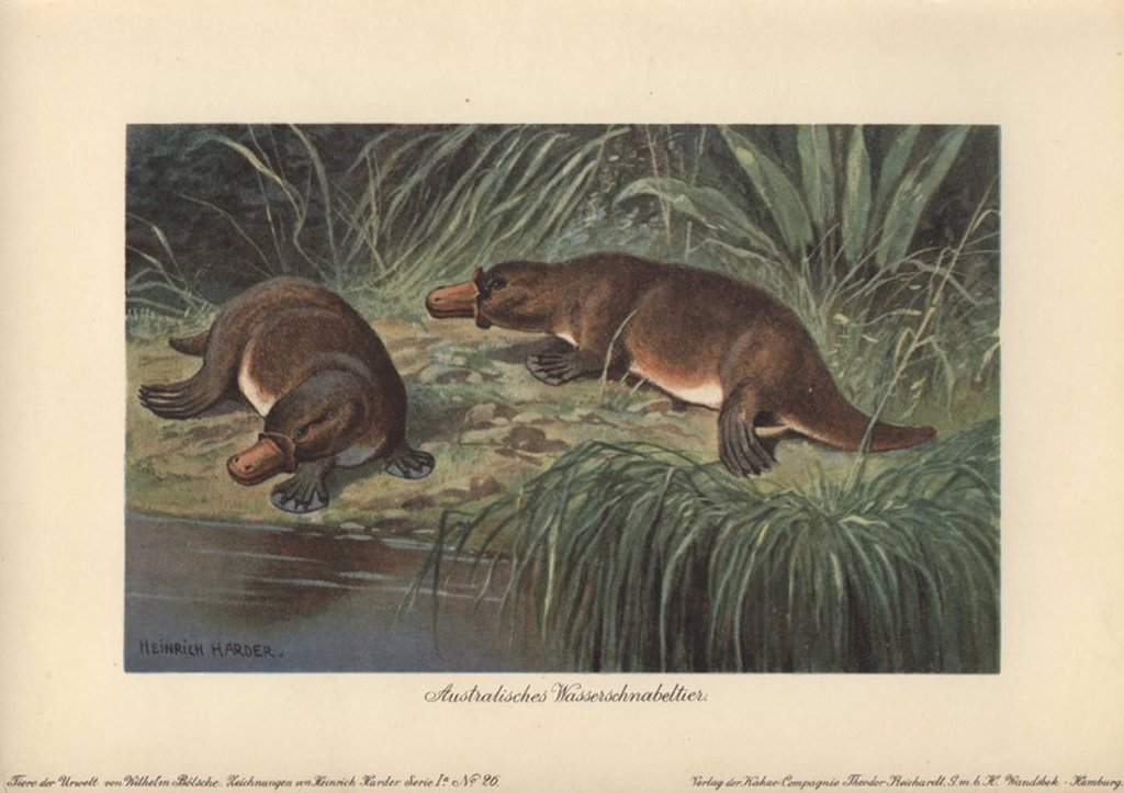 "The platypus or duck-billed platypus (Ornithorhynchus anatinus) is a semi-aquatic monotreme mammal native to eastern Australia, including Tasmania. . . Colour printed illustration by Heinrich Harder from ""Tiere der Urwelt"" Animals of the Prehistoric World, 1916, Hamburg. Heinrich Harder (1858-1935) was a German landscape artist and book illustrator. From a series of prehistoric creature cards published by the Reichardt Cocoa company. Natural historian Wilhelm Bolsche wrote the descriptive text. : Stock Photo"