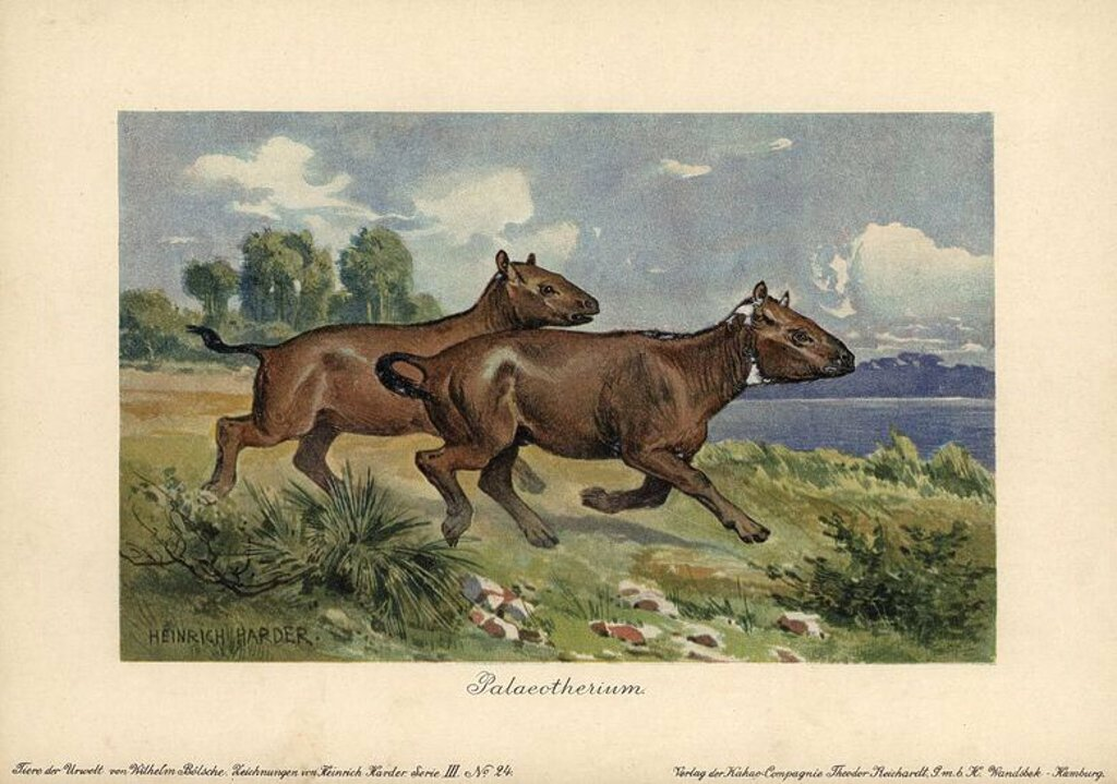 "Palaeotherium, extinct genus of primitive horse-like perissodactyl ungulate. Colour printed (chromolithograph) illustration by Heinrich Harder from ""Tiere der Urwelt"" Animals of the Prehistoric World, 1916, Hamburg. Heinrich Harder (1858-1935) was a German landscape artist and book illustrator. From a series of prehistoric creature cards published by the Reichardt Cocoa company. Natural historian Wilhelm Bolsche wrote the descriptive text. : Stock Photo"