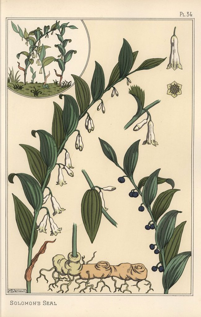 "Stock Photo: 4409-68448 Botanical illustration of Solomon's seal, Polygonatum multiflorum. Lithograph by Verneuil with pochoir (stencil) handcoloring from Eugene Grasset's ""Plants and their Application to Ornament,"" Paris, 1897. Grasset (1841-1917) was a Swiss artist whose innovative designs inspired the ""art nouveau"" movement at the end of the 19th century."