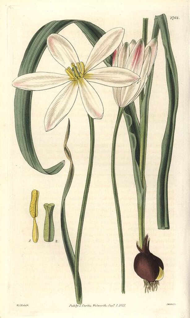 "Stock Photo: 4409-68471 Tulipa stellata. . Stellated East Indian tulip with white flowers, showing bulb, stamen and pistil details.. . Illustration by WJ Hooker, engraved by Swan. Handcolored copperplate engraving from William Curtis's ""The Botanical Magazine"" 1827.. . William Jackson Hooker (1785-1865) was an English botanist, writer and artist. He was Regius Professor of Botany at Glasgow University, and editor of Curtis' ""Botanical Magazine"" from 1827 to 1865. In 1841, he was appointed director of the Royal Botanic"