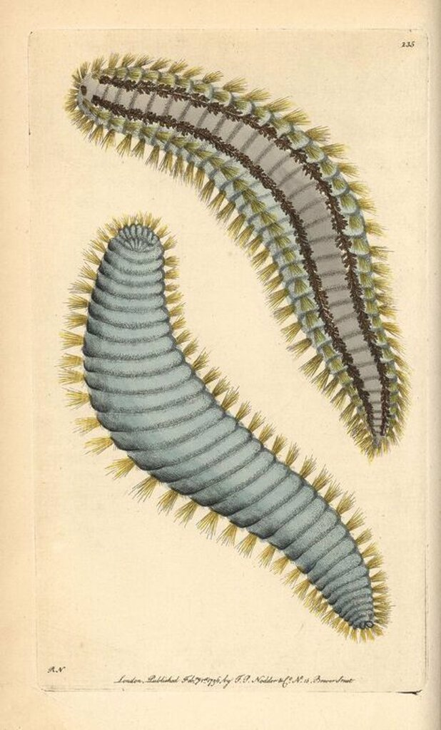 "Yellow-haired terebella, Terebella flavicoma. Tube forming marine polychete worm with filamentous tentacles. Illustration signed RN (Richard Nodder).. Handcolored copperplate engraving from George Shaw and Frederick Nodder's ""The Naturalist's Miscellany"" 1796.. Frederick Polydore Nodder (1751~1801?) was a gifted natural history artist and engraver. Nodder honed his draftsmanship working on Captain Cook and Joseph Banks' Florilegium and engraving Sydney Parkinson's sketches of Australian plants.  : Stock Photo"