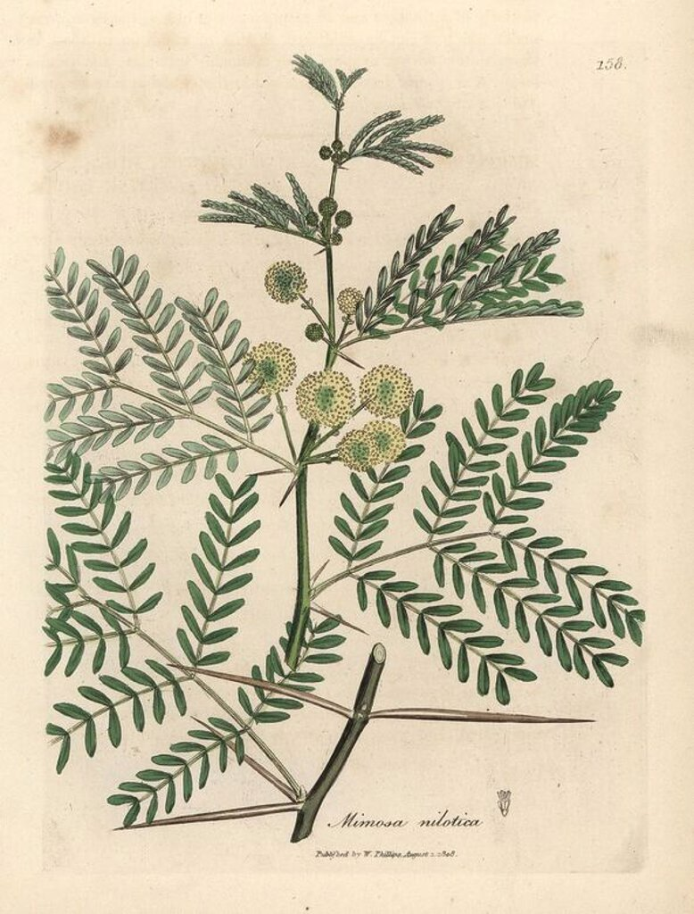 "Stock Photo: 4409-68517 Gum arabic tree, Acacia nilotica. Handcoloured copperplate engraving from a botanical illustration by James Sowerby from William Woodville and Sir William Jackson Hooker's ""Medical Botany,"" John Bohn, London, 1832. The tireless Sowerby (1757-1822) drew over 2, 500 plants for Smith's mammoth ""English Botany"" (1790-1814) and 440 mushrooms for ""Coloured Figures of English Fungi "" (1797) among many other works."