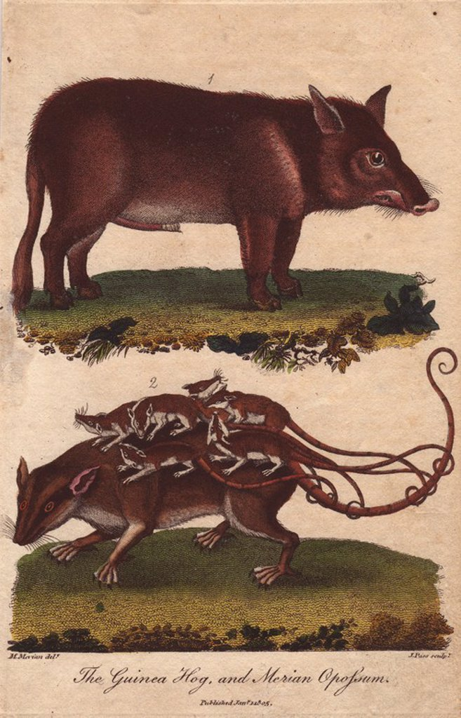 "Stock Photo: 4409-68598 Guinea hog and Merian opossum. . Sus scrofa, Didelphys murina. . Hand-colored copperplate engraving from a drawing by Maria Sybilla Merian from Ebenezer Sibly's ""Universal System of Natural History"" 1794. . . The prolific Sibly published his Universal System of Natural History in 1794~1796 in five volumes covering the three natural worlds of fauna, flora and geology. The series included illustrations of mythical beasts such as the sukotyro and the mermaid, and depicted sloths sitting on the grou"