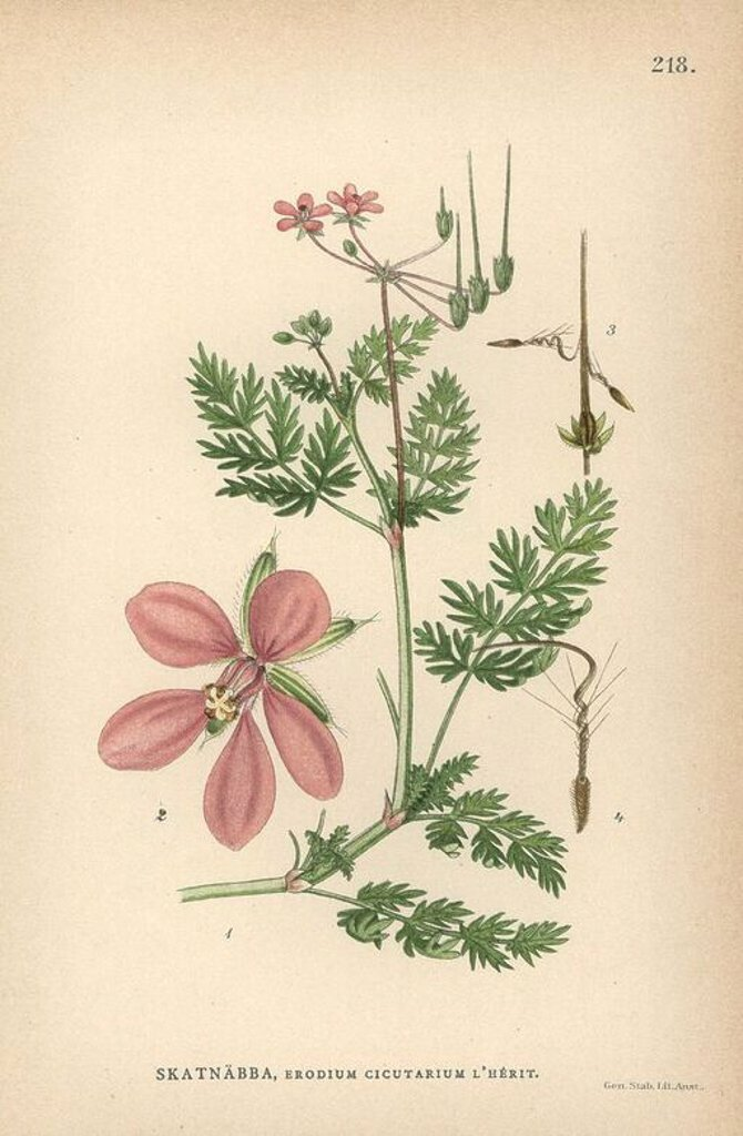 "Redstem filaree or common stork's-bill, Erodium cicutarium. Chromolithograph from Carl Lindman's ""Bilder ur Nordens Flora"" (Pictures of Northern Flora), Stockholm, Wahlström & Widstrand, 1905. Lindman (1856-1928) was Professor of Botany at the Swedish Museum of Natural History (Naturhistoriska Riksmuseet). The chromolithographs were based on Johan Wilhelm Palmstruch's ""Svensk botanik"" (1802-1843). : Stock Photo"