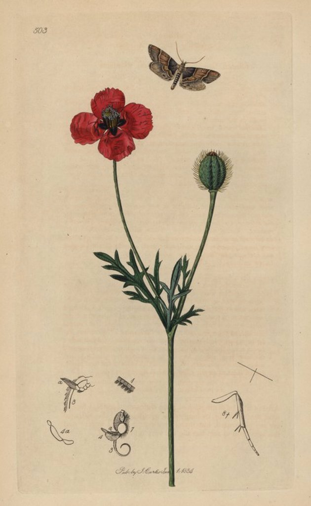 "Asopia pictalis, Pyralis pictalis, Poplar Pyralis moth, with round rough-headed poppy, Papaver hybridum. Entomology, being Illustrations and Descriptions of the Genera of Insects found in Great Britain and Ireland,"" London, 1834. Curtis (1791 –1862) was an entomologist, illustrator, engraver and publisher. ""British Entomology"" was published from 1824 to 1839, and comprised 770 illustrations of insects and the plants upon which they are found. : Stock Photo"