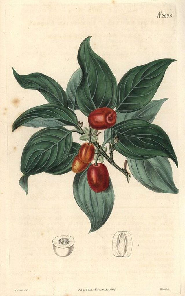 "Cornelian cherry. Cornus mascula. Austrian cherry with fruit on the branch.. Illustration by Miss C. Curtis (Samuel's daughter?), engraved by Weddell. Handcolored copperplate engraving from Samuel Curtis's ""The Curtis Botanical Magazine"" 1826.. . Samuel Curtis, cousin and son-in-law to William Curtis, took over the Botanical Magazine in 1826. Samuel re-named it ""The Curtis Botanical Magazine"" and enlisted the help of William Jackson Hooker, Professor of Botany at Glasgow University. Samuel Curti : Stock Photo"