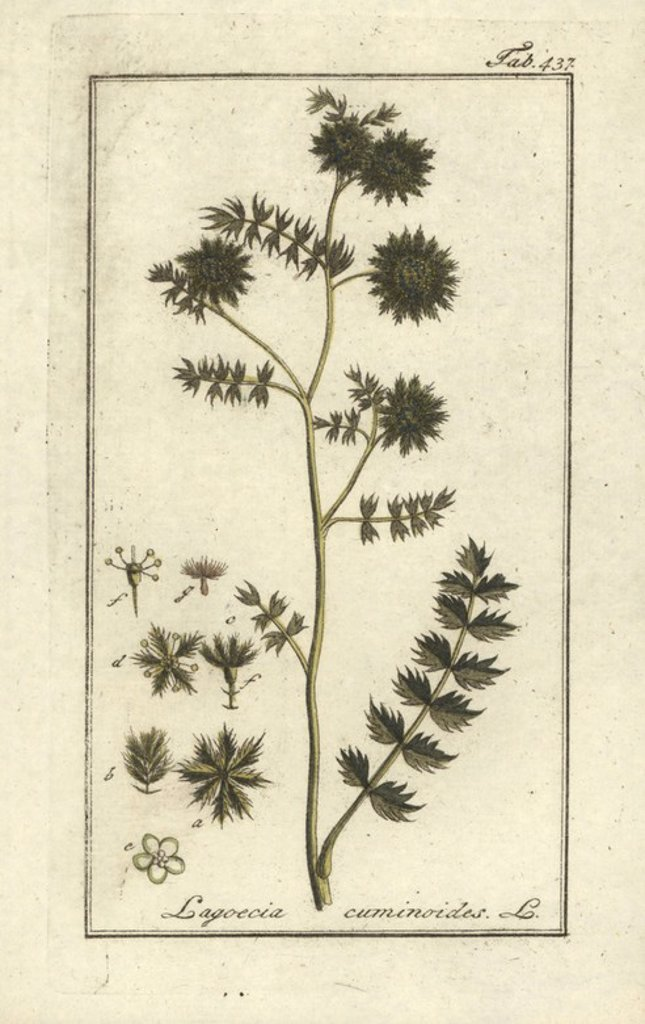 "Stock Photo: 4409-69224 Wild cumin, Lagoecia cuminoides. Handcoloured copperplate botanical engraving from Johannes Zorn's ""Afbeelding der Artseny-Gewassen,"" Jan Christiaan Sepp, Amsterdam, 1796. Zorn first published his illustrated medical botany in Nurnberg in 1780 with 500 plates, and a Dutch edition followed in 1796 published by J.C. Sepp with an additional 100 plates. Zorn (1739-1799) was a German pharmacist and botanist who collected medical plants from all over Europe for his ""Icones plantarum medicinalium"" for"