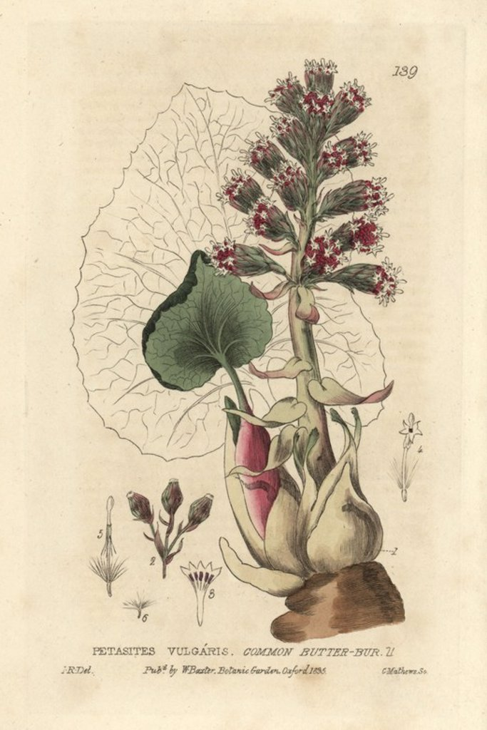 "Common butterbur, Petasites vulgaris. Handcoloured copperplate engraving by Charles Mathews of a drawing by Isaac Russell from William Baxter's ""British Phaenogamous Botany"" 1835. Scotsman William Baxter (1788-1871) was the curator of the Oxford Botanic Garden from 1813 to 1854. : Stock Photo"
