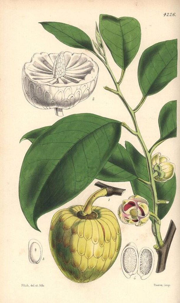 "Stock Photo: 4409-69435 Water or alligator-apple tree, Annona palustris. Hand-coloured botanical illustration drawn and lithographed by Walter Hood Fitch for Sir William Jackson Hooker's ""Curtis's Botanical Magazine,"" London, Reeve Brothers, 1846. Fitch (1817~1892) was a tireless Scottish artist who drew over 2,700 lithographs for the ""Botanical Magazine"" starting from 1834."