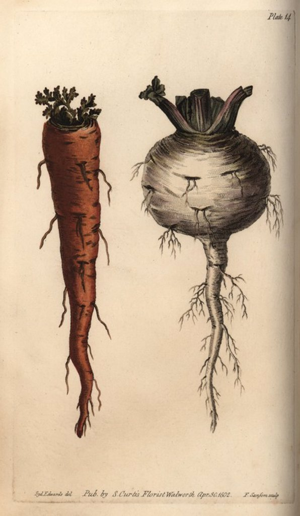 "Stock Photo: 4409-69450 Root vegetables, carrot Daucus carota and turnip Brassica rapa. Handcoloured copperplate engraving of a botanical illustration by Sydenham Edwards for William Curtis's ""Lectures on Botany, as delivered in the Botanic Garden at Lambeth,"" 1805. Edwards (1768-1819) was the artist of thousands of botanical plates for Curtis' ""Botanical Magazine"" and his own ""Botanical Register.""."
