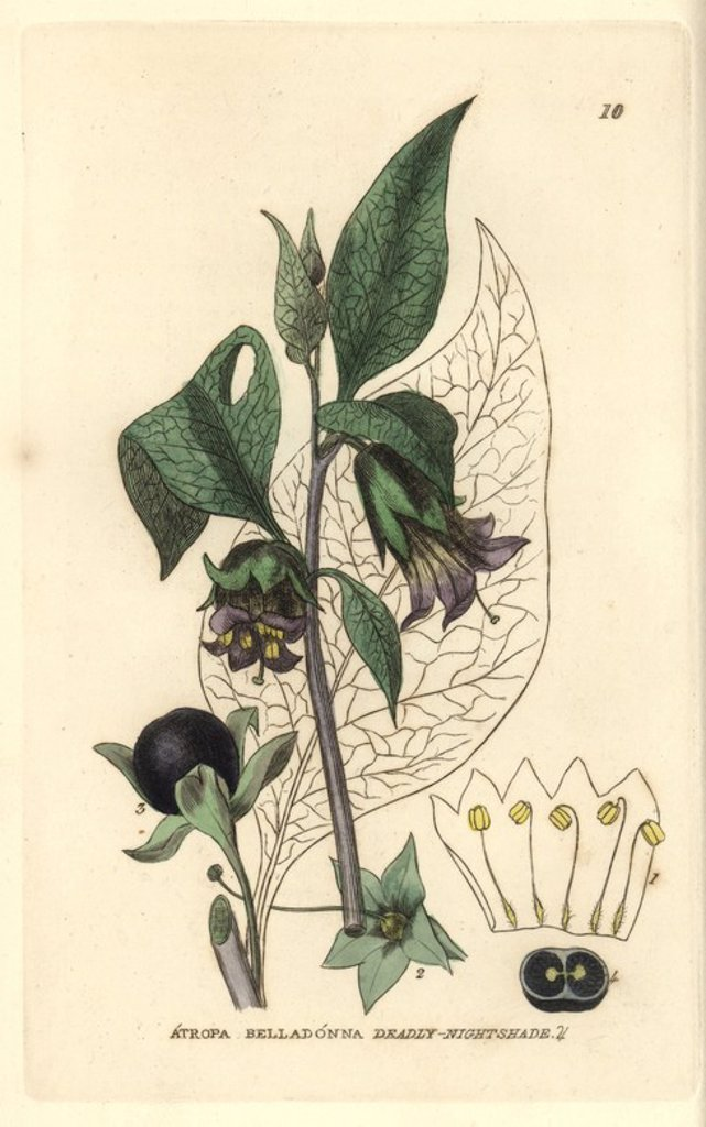 "Stock Photo: 4409-69500 Deadly nightshade, Atropa belladonna. Handcoloured copperplate engraving from a drawing by Isaac Russell from William Baxter's ""British Phaenogamous Botany"" 1834. Scotsman William Baxter (1788-1871) was the curator of the Oxford Botanic Garden from 1813 to 1854."