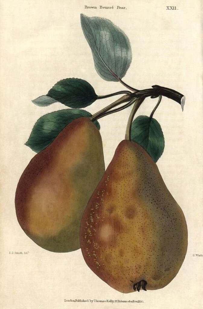 "Stock Photo: 4409-69572 Ripe fruit and leaves of Brown Beurre Pear, Pyrus communis. Hand-colored illustration by Edwin Dalton Smith engraved by Watts from Charles McIntosh's ""Flora and Pomona"" 1829. McIntosh (1794-1864) was a Scottish gardener to European aristocracy and royalty, and author of many book on gardening. E.D. Smith was a botanical artist who drew for Robert Sweet, Benjamin Maund, etc."