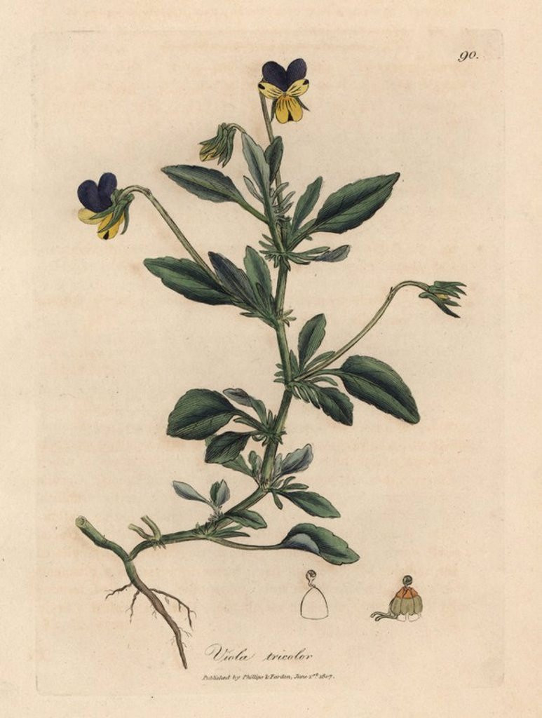 "Stock Photo: 4409-69877 Purple and yellow pansy or three-colored violet, Viola tricolor. Handcolored copperplate engraving from a botanical illustration by James Sowerby from William Woodville and Sir William Jackson Hooker's ""Medical Botany"" 1832. The tireless Sowerby (1757-1822) drew over 2,500 plants for Smith's mammoth ""English Botany"" (1790-1814) and 440 mushrooms for ""Coloured Figures of English Fungi "" (1797) among many other works."