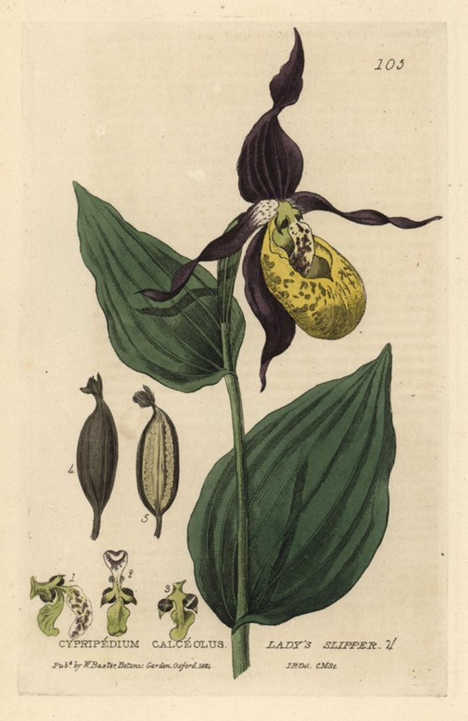 "Stock Photo: 4409-70031 Lady's slipper orchid, Cypripedium calceolus. Handcoloured copperplate engraving by Charles Mathews of a drawing by Isaac Russell from William Baxter's ""British Phaenogamous Botany"" 1834. Scotsman William Baxter (1788-1871) was the curator of the Oxford Botanic Garden from 1813 to 1854."