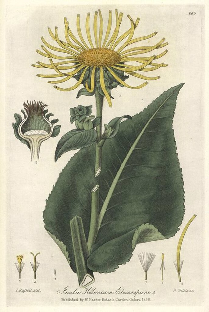 "Elecampane, Inula helenium. Handcoloured copperplate engraved by W. Willis from a drawing by Isaac Russell from William Baxter's ""British Phaenogamous Botany,"" Oxford, 1838. Scotsman William Baxter (1788-1871) was the curator of the Oxford Botanic Garden from 1813 to 1854. : Stock Photo"