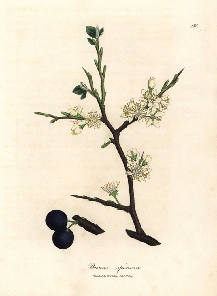 "Stock Photo: 4409-70194 White blossom and blue berries of the sloe tree, Prunus spinosa. Handcolored copperplate engraving from a botanical illustration by James Sowerby from William Woodville and Sir William Jackson Hooker's ""Medical Botany"" 1832. The tireless Sowerby (1757-1822) drew over 2,500 plants for Smith's mammoth ""English Botany"" (1790-1814) and 440 mushrooms for ""Coloured Figures of English Fungi "" (1797) among many other works."