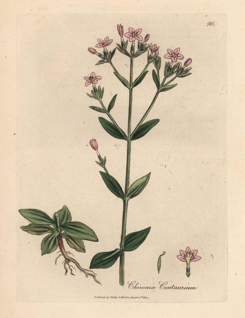 "Stock Photo: 4409-70225 Centaury, Chironia centaurium. Handcoloured copperplate engraving from a botanical illustration by James Sowerby from William Woodville and Sir William Jackson Hooker's ""Medical Botany,"" John Bohn, London, 1832. The tireless Sowerby (1757-1822) drew over 2, 500 plants for Smith's mammoth ""English Botany"" (1790-1814) and 440 mushrooms for ""Coloured Figures of English Fungi "" (1797) among many other works."