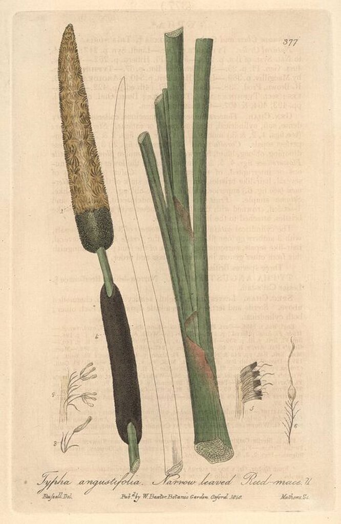 "Stock Photo: 4409-70313 Narrow-leaved reed mace, Typha angustifolia. Handcoloured copperplate engraved by Charles Mathews from a drawing by Isaac Russell from William Baxter's ""British Phaenogamous Botany,"" Oxford, 1840. Scotsman William Baxter (1788-1871) was the curator of the Oxford Botanic Garden from 1813 to 1854."