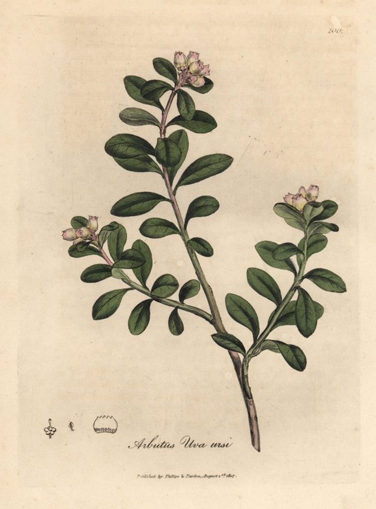 "Trailing arbutus or bearberry, Arctostaphylos uva-ursi. Handcoloured copperplate engraving from a botanical illustration by James Sowerby from William Woodville and Sir William Jackson Hooker's ""Medical Botany,"" John Bohn, London, 1832. The tireless Sowerby (1757-1822) drew over 2, 500 plants for Smith's mammoth ""English Botany"" (1790-1814) and 440 mushrooms for ""Coloured Figures of English Fungi "" (1797) among many other works. : Stock Photo"