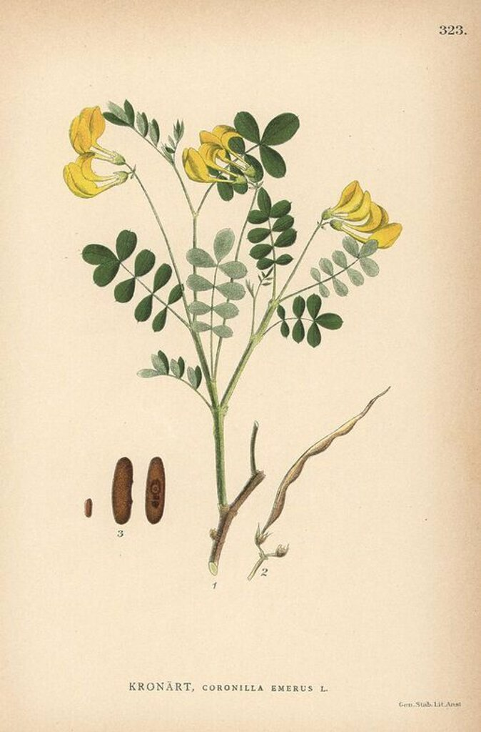"Stock Photo: 4409-70672 Scorpion senna, Coronilla emerus. Chromolithograph from Carl Lindman's ""Bilder ur Nordens Flora"" (Pictures of Northern Flora), Stockholm, Wahlstrom & Widstrand, 1905. Lindman (1856-1928) was Professor of Botany at the Swedish Museum of Natural History (Naturhistoriska Riksmuseet). The chromolithographs were based on Johan Wilhelm Palmstruch's ""Svensk botanik,"" 1802-1843."